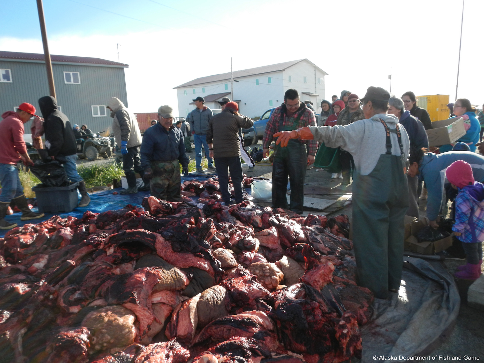 Distribution of the walrus harvest at Togiak. Photo courtesy ADF&G